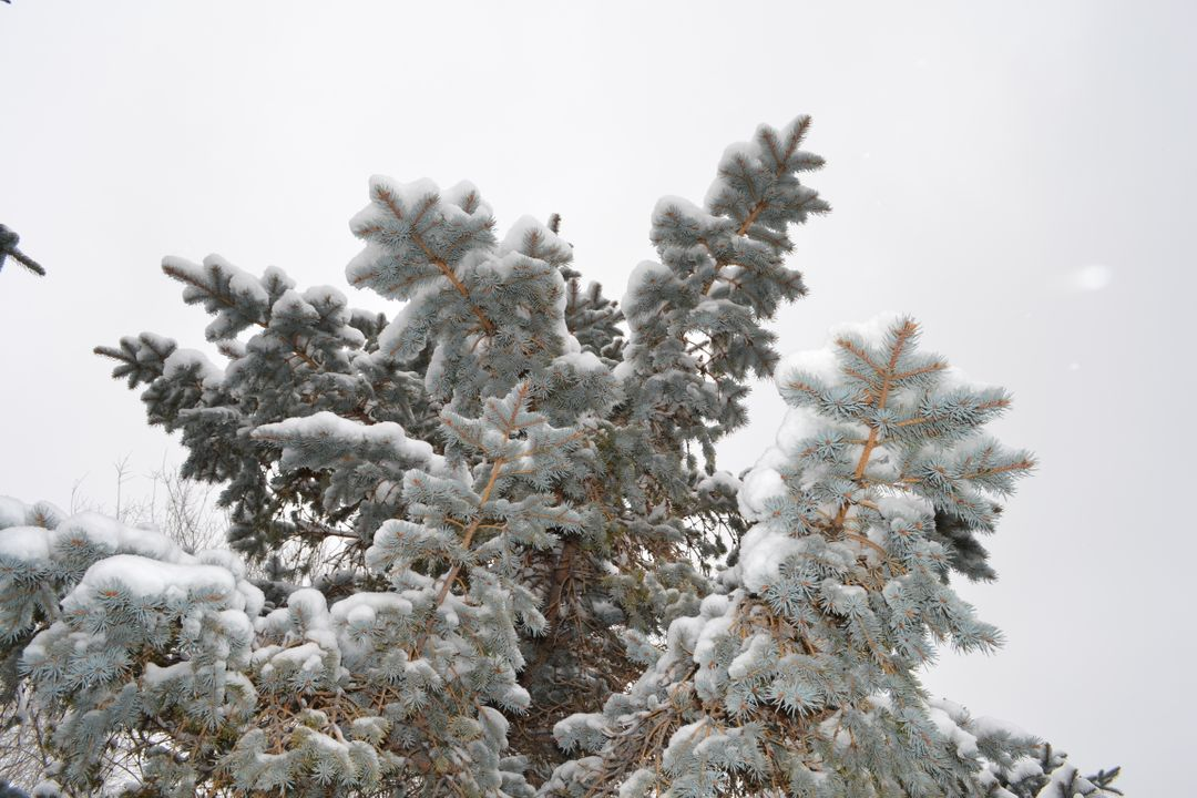 Snow Fir Tree