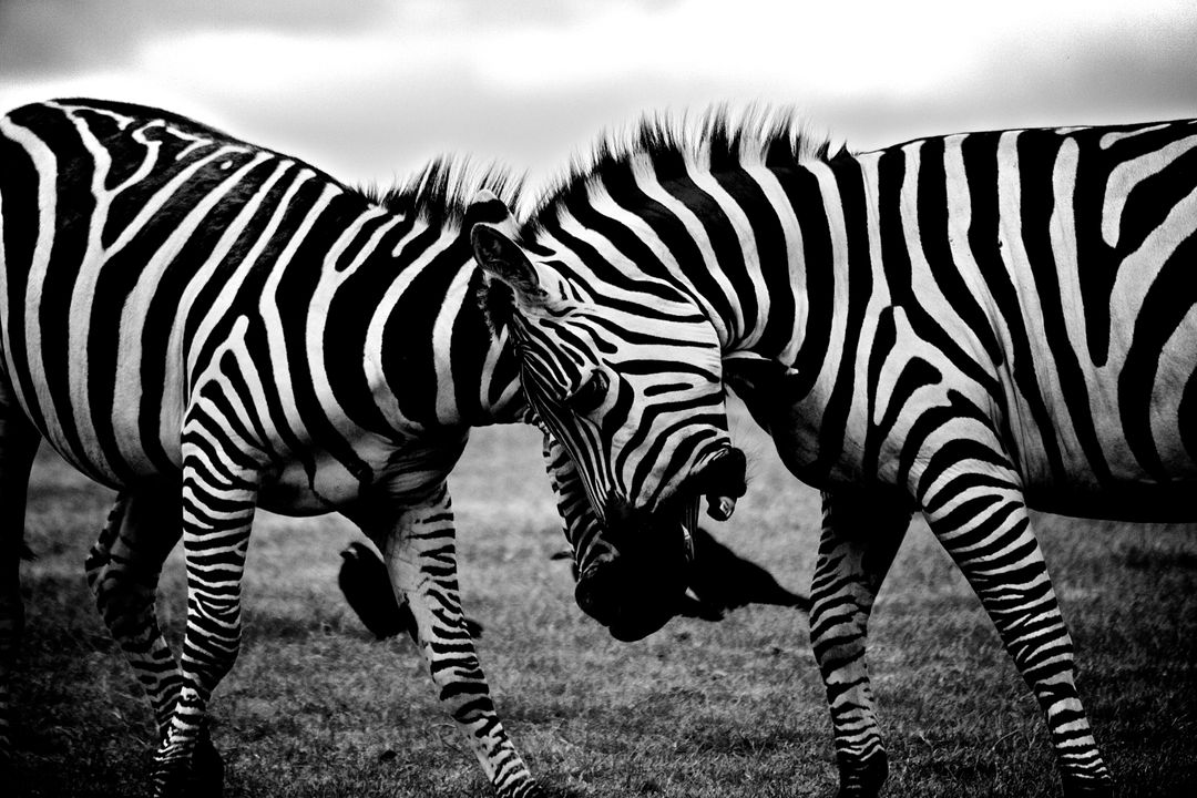 Close up black and white image of zebras