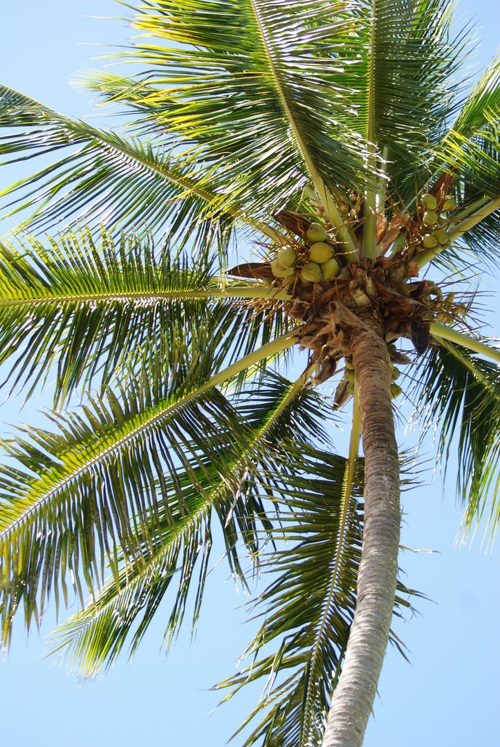 Coconut Palm Tropical