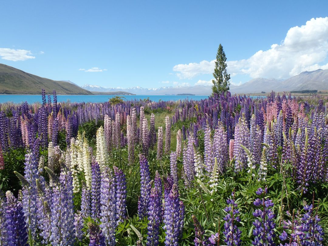 Lupin meadows wildflower mountains