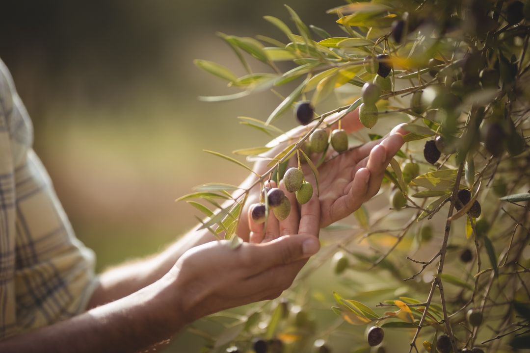Mid section of man touching olives growing on tree at farm
