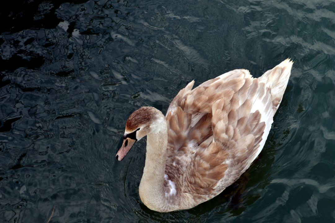 White and Brown Swan on Body of Water