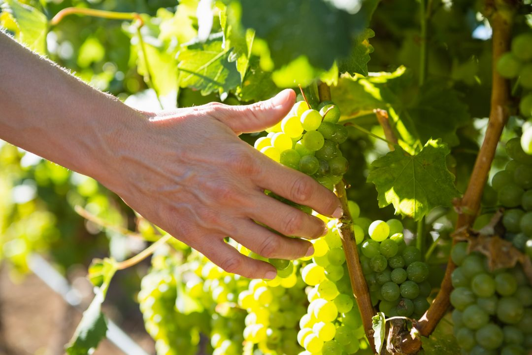 Close-up of female vintner harvesting grapes in vineyard Free Stock Images from PikWizard