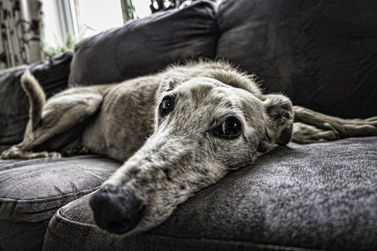 FREE whippet Stock Photos from PikWizard
