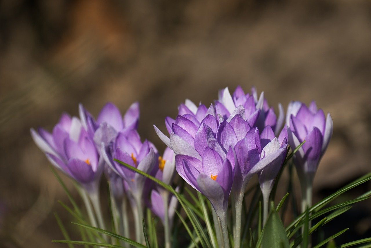 FREE crocus Stock Photos from PikWizard