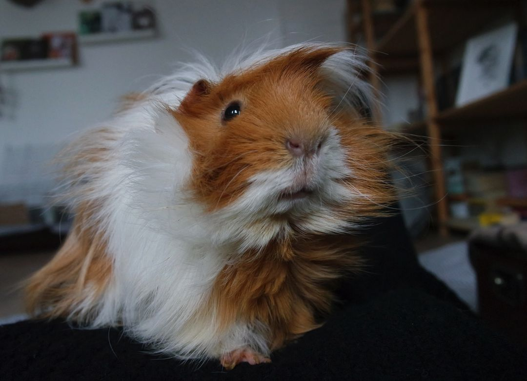 Guinea pig Cavy Rodent