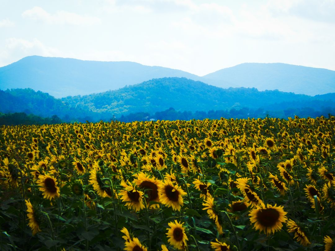 Mountian sunflower field