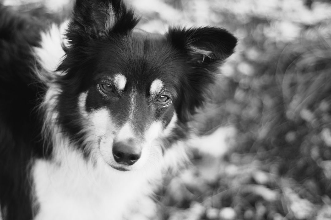 Dog Border collie Shepherd dog