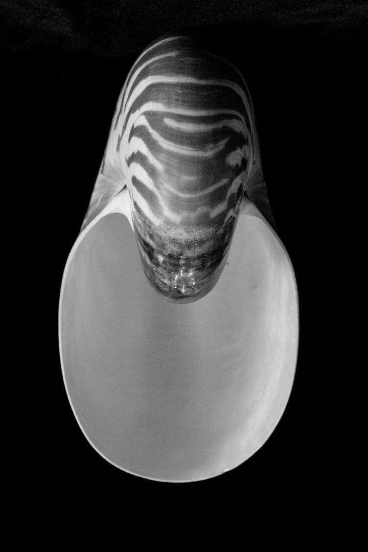 Chambered nautilus sea shell shell