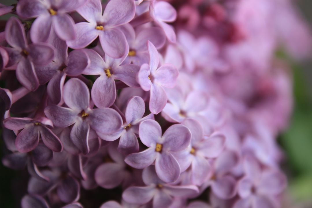 Lilac Flower Floral
