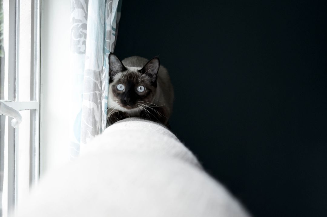 Cat Siamese cat Domestic cat