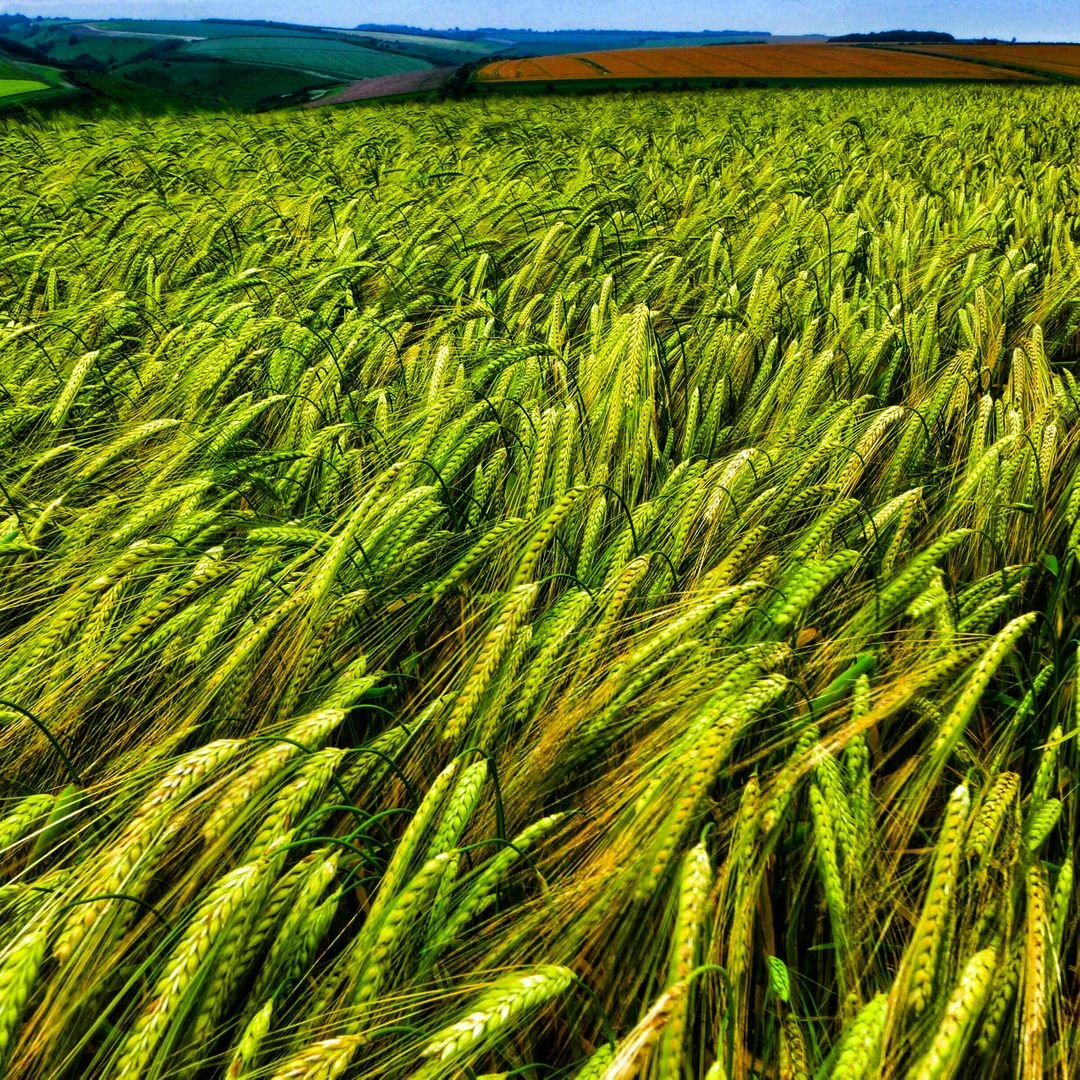 Cereal Wheat Field