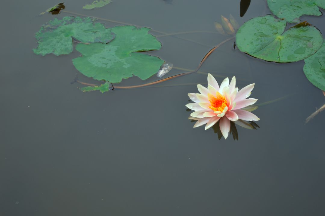 Plant Aquatic Flower